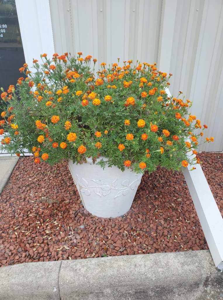 This image has an empty alt attribute; its file name is marigold2.jpg
